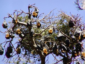 Flying Foxes im Bot. Garten