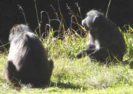 Baboons auf dem Grootriver Pass